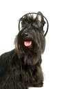 Listening to music black scottish terrier with headphones on a white background Royalty Free Stock Images