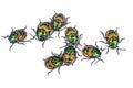 Litchi bug tong taek bug chrysocoris stollii on white backgro background Stock Photo