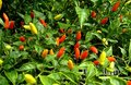 Litred hot Hawaiian Chile Peppers Royalty Free Stock Image