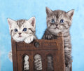 Litter of kittens on blu background british breed tabby Stock Photos