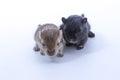 Litter Mongolian gerbil, Desert Rat Royalty Free Stock Photo