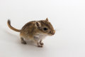 Litter Mongolian gerbil, Desert Rat Royalty Free Stock Photo