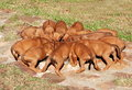 Litter of puppies Royalty Free Stock Photo