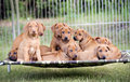 Litter of puppies adorable rhodesian ridgeback puppie sitting together on a hammock in the backyard funny expressions in their Stock Image