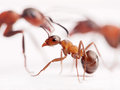 Little ant and big ones at background formica rufa Stock Photo