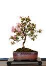 LIttle Azalea Bonsai tree as bonsai Royalty Free Stock Images