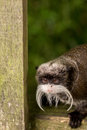 A little baby Capuchin monkey sticking its head through the fence Royalty Free Stock Photo