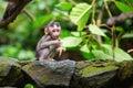 Little baby monkey in sacred monkey forest of ubud bali indonesia Stock Image