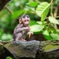 Little baby monkey in sacred monkey forest of ubud bali indonesia Stock Photography