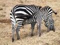 Little Baby Zebra Is About Mot...