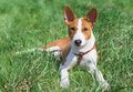 Little basenji puppy month old having rest on a grass at sunny day Royalty Free Stock Photography