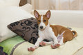 Little basenji puppy stretching oneself short siesta Royalty Free Stock Photo