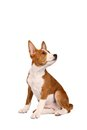 Little basenji puppy on white brindle colour month isolated Royalty Free Stock Image