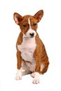 Little basenji puppy on white brindle colour month isolated Stock Photos