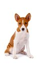 Little basenji puppy on white month the background Stock Photo