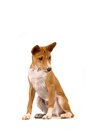 Little basenji puppy on white month the background Stock Photos