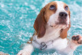 Little beagle dog playing on the swimming pool - look up Royalty Free Stock Photo