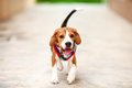 Little Beagle Is Running With ...