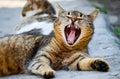 Little beautiful cat yawn Royalty Free Stock Photo