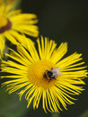 Little bee pollinate a yellow daisy Stock Images