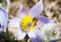 Little bee pollinates the pulsatilla flower apis mellifera slavica natural photo Royalty Free Stock Photo