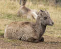 Little big horn sheep young resting in the grass Royalty Free Stock Photo