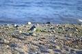 Little bird on a beach single Royalty Free Stock Photo