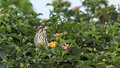 Little bird eating fruits tiny of a flowering plant in a garden Royalty Free Stock Photos