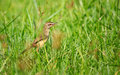 Little bird in the grass Royalty Free Stock Image