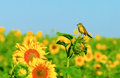 Little bird on morning sunflower Royalty Free Stock Image