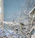 Hladný vták jesť bobule
