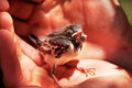 Little bird sitting in man s hand care concept Royalty Free Stock Photography