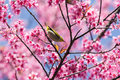 Little bird on wild himalayan cherry tree close up of Royalty Free Stock Photography