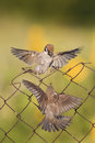 Little birds are sitting and fighting with wire fence