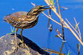 Little bittern ixobrychus minutus in kruger national park south africa Stock Images
