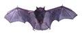 Little black Bat isolated on white background. Royalty Free Stock Photo