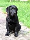 A little black labrador puppy in summer
