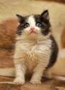 Little black and white kitten Royalty Free Stock Photo