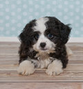 Little black a white puppy cute and with blue and poke dot background Stock Photography