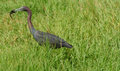 Little blue heron bird eating crawfish Stock Photography