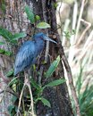 Little Blue Heron bird Stock Photos.   Little Blue Heron bird close-up profile view perched with a tree background. Royalty Free Stock Photo
