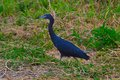 Little blue heron bird walking in the everglades Stock Photography