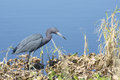 Little Blue Heron Royalty Free Stock Photo