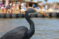 Little blue heron (Egretta caerulea) Royalty Free Stock Images