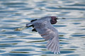 Little blue heron egretta caerulea in flight against soft lake water Royalty Free Stock Photos