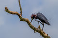 A Little Blue Heron (Egretta caerulea) Showing his Awesome Crown of Feathers in Tree. Royalty Free Stock Photo