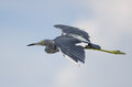 Little blue heron flying in fort myers florida Stock Photo