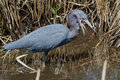 Little blue heron hunting hunts in tall reeds of south florida Royalty Free Stock Image
