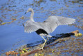 Little Blue Heron Landing on Log Stock Photo