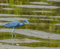 Little Blue Heron at the Lemon Bay Aquatic Reserve in the Cedar Point Environmental Park, Sarasota County, Florida Royalty Free Stock Photo